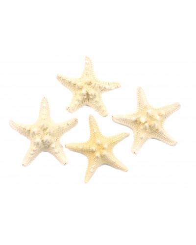 Rozgwiazdy guzowate - muszle 7-10cm 4 szt.