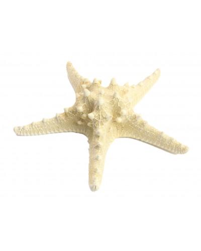 Rozgwiazda guzowata - muszle 20-25cm